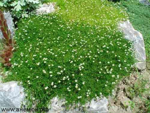 Мшанка (шотландский мох)